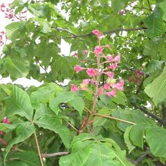 Horsechestnut - flowering branch
