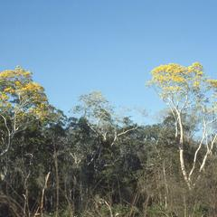 Tropical deciduous forest with Tabebuia, near Tomatlan