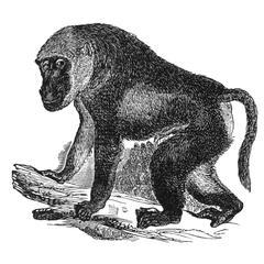 Walking Baboon Print