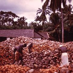 Husking Coconuts, A Step in the Production of Copra