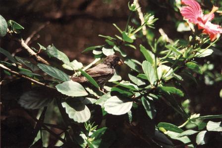 Medium Ground Finch (Geospiza fortis) in a Chinese Hibiscus Shrub (Hibiscus rosa-sinensis)