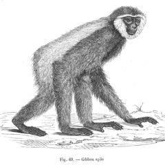 Gibbon agile