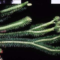 Branching habit of Huperzia squarrosa