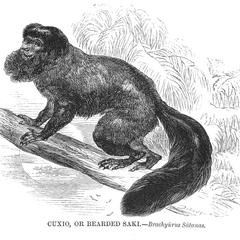 Cuxio, or Bearded Saki