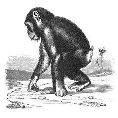Walking Chimpanzee Print