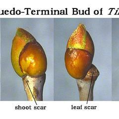 Pseudo terminal bud of Tilia