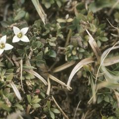 Rubiaceae species, top of Sierra Cuchumatanes