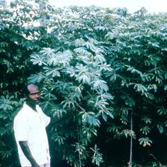 Cassava (Manioc) Plant