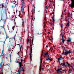 Sieve tube members in longitudinal section of stipe of Macrocystis
