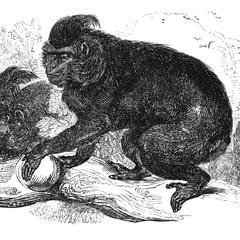 The Black Ape, Macacus niger