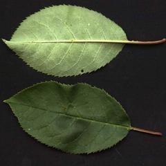 Choke cherry leaves