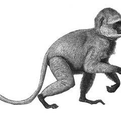 Entellus or Hanuman Monkey