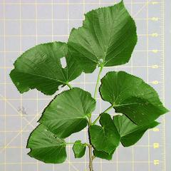 Leafy bough of Tilia americana