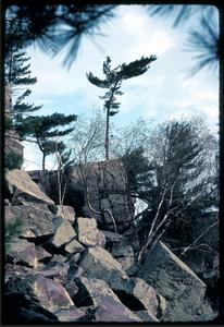 Small weather-plumed pine on rock, East bluff, Devil's Lake State Park