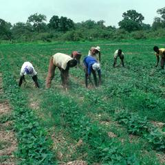 Laborers Hand-Weeding Groundnut Field