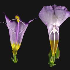 Foral dissection of Torenia