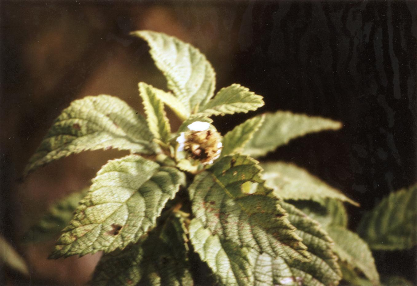 Cordia (Cordia leucophlyctis)