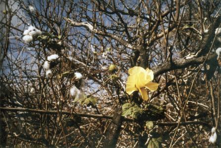 Galápagos Cotton (Gossypium darwinii)