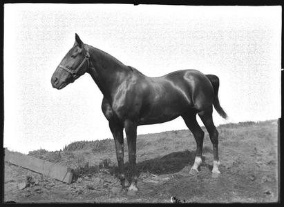 """Horse """"Beauty"""" - owned by C. E. Remer"""