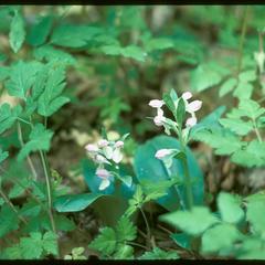 Orchis spectabilis, Ridgeland