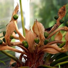 Megasporophylls of Cycas