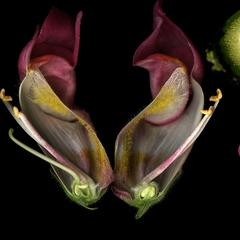 Snapdragon composite - flower with a bee, cross section of an ovary, two views of an intact flower and a longitudinal dissection