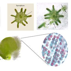 Marchantia - composite of stages associated with the archegoniophore
