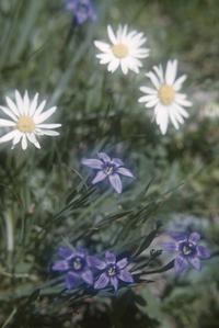 Sisyrinchium and Asteraceae flowers