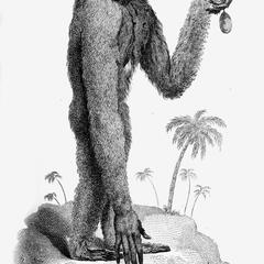 Long-Armed Ape : White Variety
