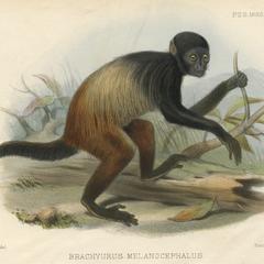 Brachyurus Melanocephalus