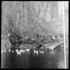 Ducks at the mill