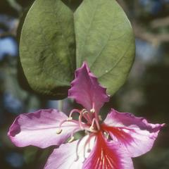 Bauhinia, a small tree cultivated in Guatemala City.
