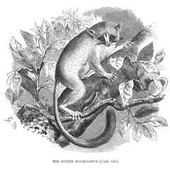The Murine Mouse-Lemur (1/2 nat. size)