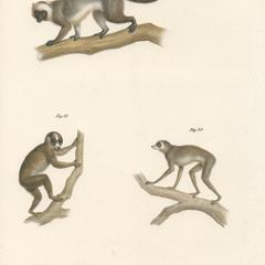 Prosimian Group Print