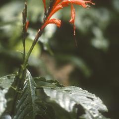 Aphelandra in flower, Monteverde