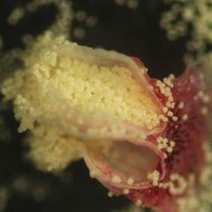 Dehiscing pollen sacs of red pine