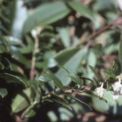 Pernettya, a relative of blueberries, top of Sierra de Manantlán