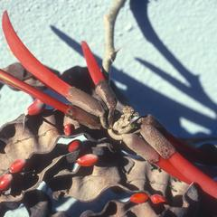 Erythrina flowers and fruit