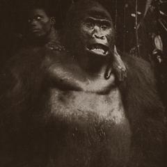Standing Gorilla Print