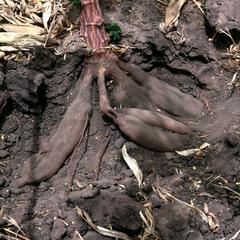 Tubers of Experimental Cassava Clones