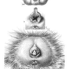 Female Chimpanzee Genitalia Print