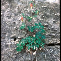 Columbine on rocks, Ferry Bluff, State Natural Area