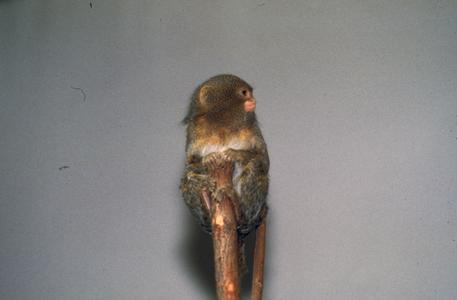 Callithrix pygmaea