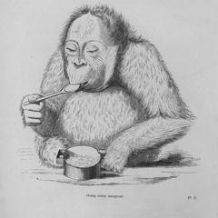 Orang outan mangeant (eating)