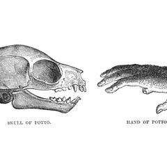 Skull of Potto and Hand of Potto