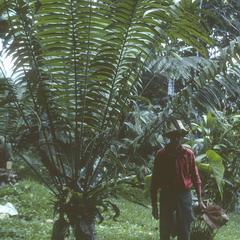 Zamia lindenii, Río Palenque Biological Station