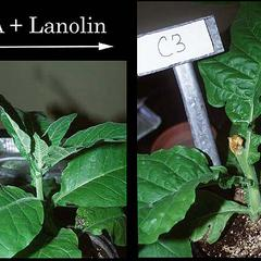 Tobacco plants 1. control with apex intact, and 2. plant with apex removed two weeks earlier treated with  IAA mixed in lanolin