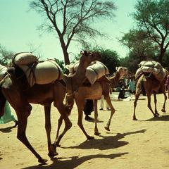 A Small Caravan of Camels Heading South through Mirria