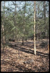Hemlocks and yellow birch in Wingra Woods, University of Wisconsin–Madison Arboretum