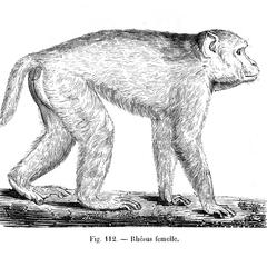 Rhésus femelle